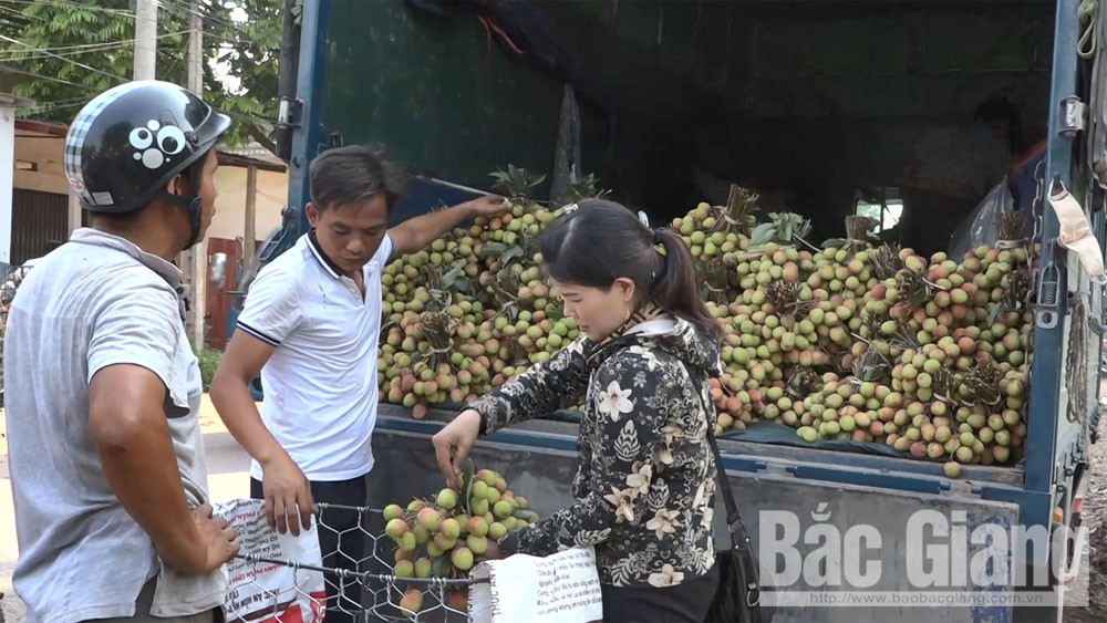 Visa granted to over 300 Chinese traders to immigrate to Bac Giang to buy lychee