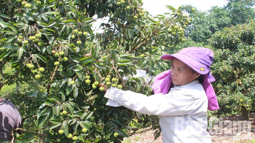 Vườn vải thiều chính vụ của gia đình chị Trần Thị Hương, thôn Lâm, xã Nam Dương (Lục Ngạn) được chăm sóctheo quy trình GlobalGAP.