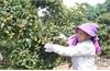 Nhà vườn Lục Ngạn: Chăm sóc vải thiều theo  quy trình an toàn sinh học