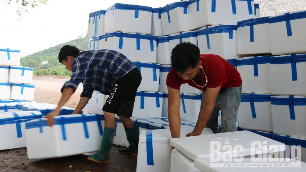 Bắc Giang: Toàn tỉnh có khoảng 100 điểm cân, vải thiều sớm tiêu thụ thuận lợi