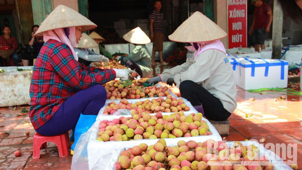 Many enterprises and cooperatives, lychee consumption, Bac Giang province, lychee promotion and consumption, early ripen lychee