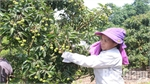 Luc Ngan orchard owners apply biosafety procedure to care for lychee farms