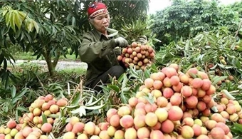 Japanese experts arrive in Vietnam to check fresh lychee for export