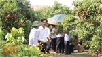 Bac Giang launches tours of lychee seasons