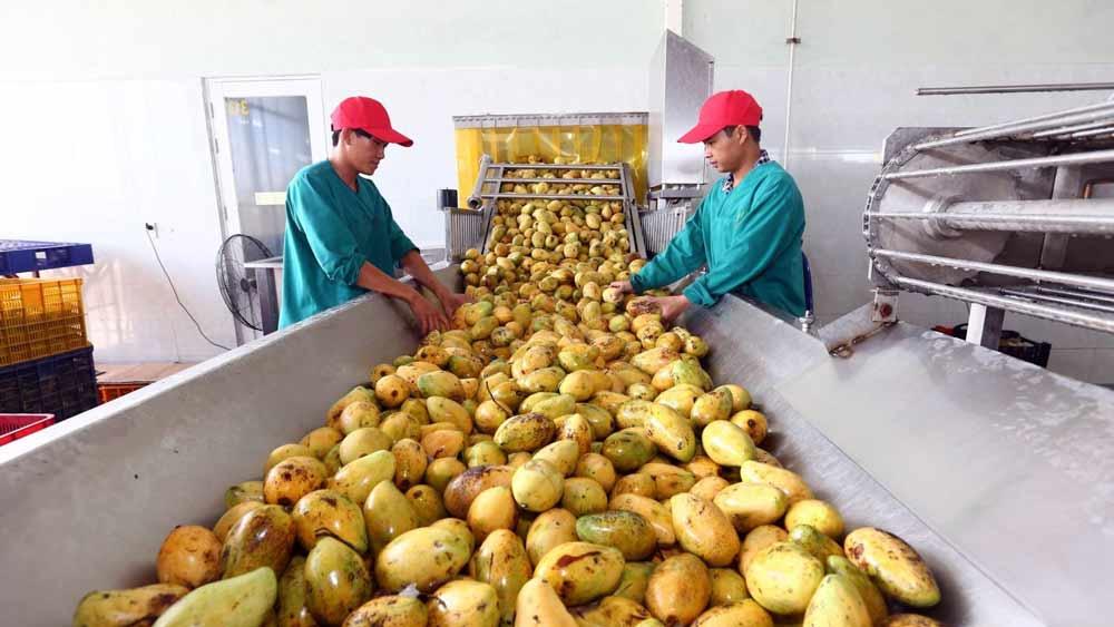 Chế biến, sơ chế hoa quả để giữ được sản phẩm tươi ngon ngay sau khi thu hoạch là yêu cầu căn bản cho xuất khẩu nông sản.