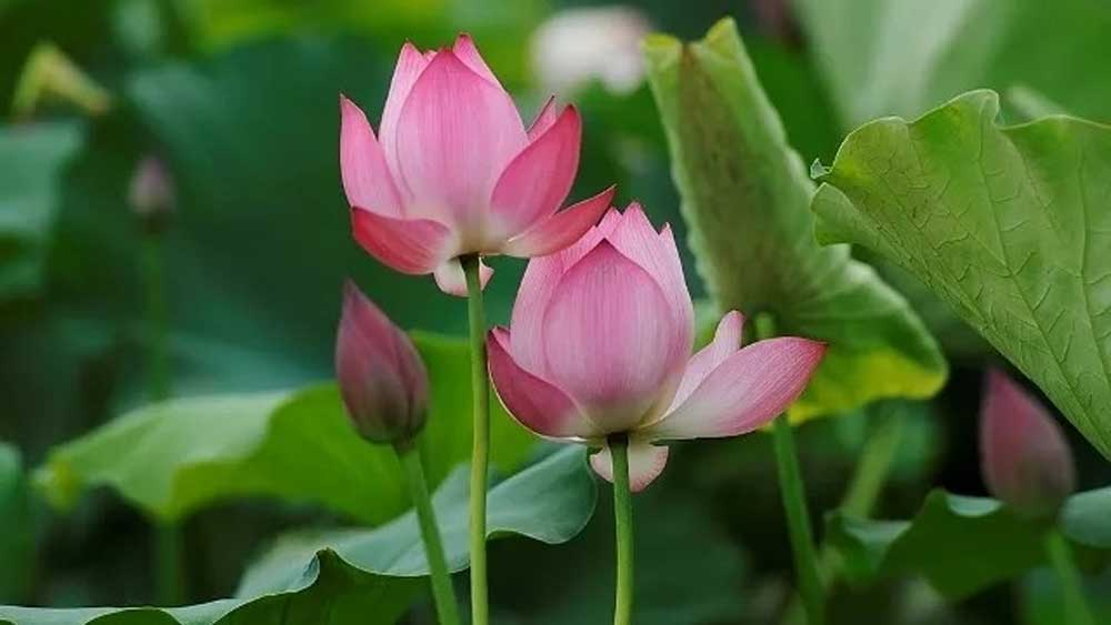 Lotus flowers bloom on the outskirts of Hanoi