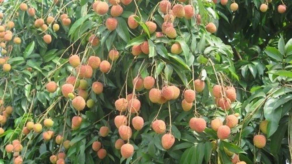 "Vietnamese ""U Hong"" lychee to enter Australia on June 12"