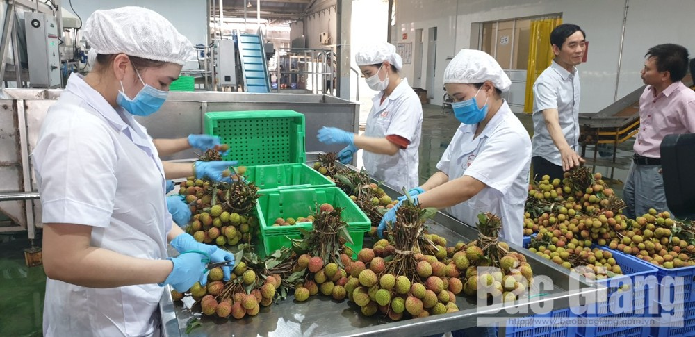 Fresh lychee preservation procedure  completed