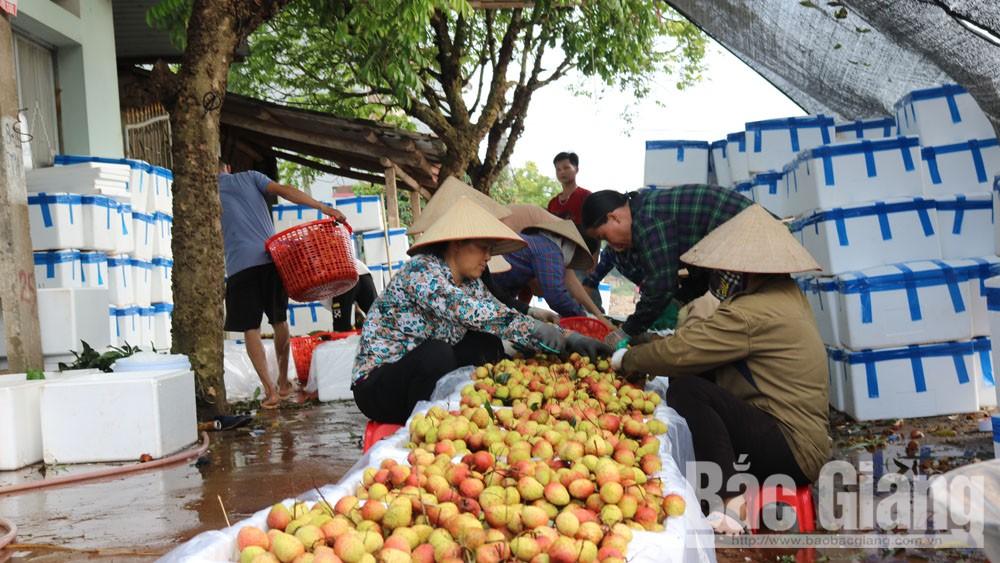 Các doanh nghiệp Trung Quốc đánh giá cao chất lượng vải thiều Bắc Giang