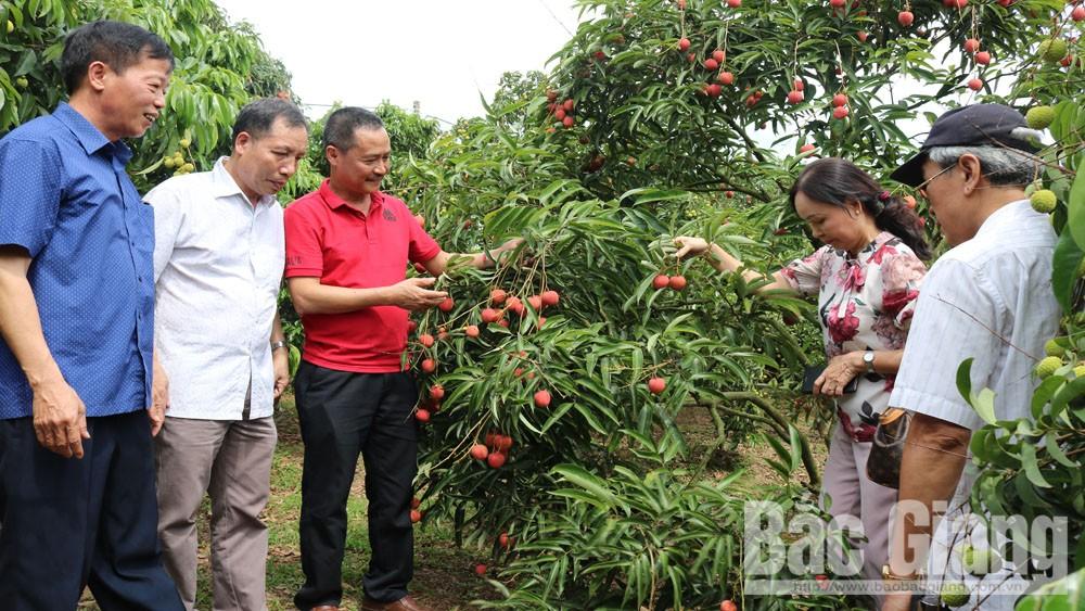 Vải thiều Bắc Giang được tiêu thụ thuận lợi trong và ngoài nước