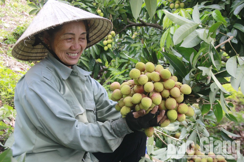 GlobalGAP certificate, Luc Ngan orchard, Bac Giang province, Division of Plant Production and Protection, GlobalGAP procedure, lychee growers and traders
