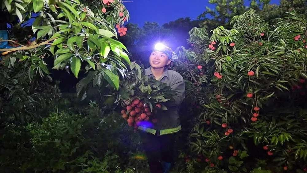 Bustling atmosphere, ripe lychee season, Hai Duong province, Bac Giang province, harvest lychees,  husty and eager manner, fruitful season, Dual wins, VietGAP standards