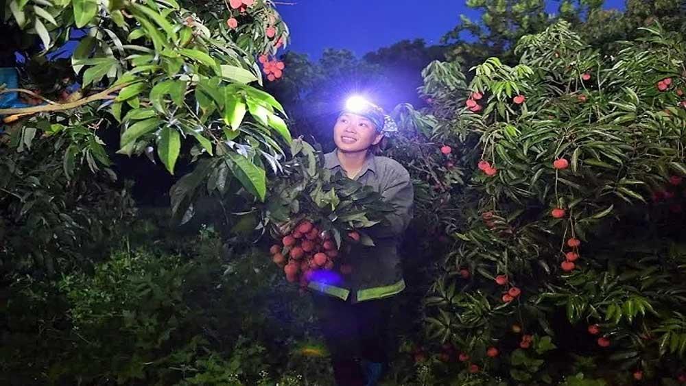 Bustling atmosphere in ripe lychee season