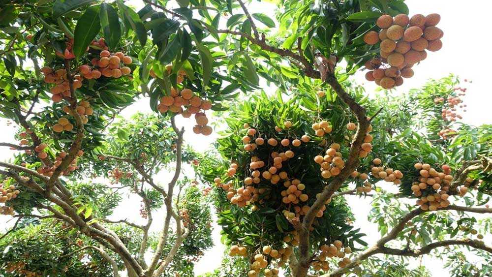 Lychee kingdom, demanding markets, Bac Giang province, specialty of Luc Ngan district, most choosy markets