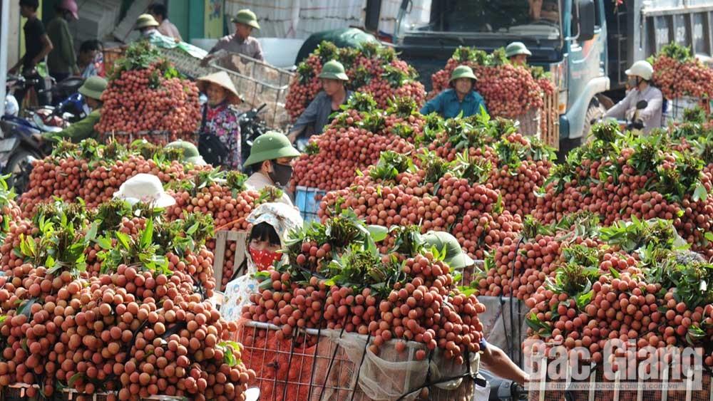 Bắc Giang: Rộn ràng mùa vải thiều