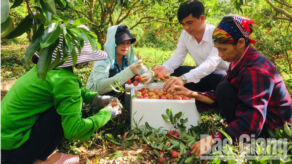 Bac Giang province, first batch of lychee, export to Japan, Luc Ngan lychee, Japanese market, GlobalGAP procedure