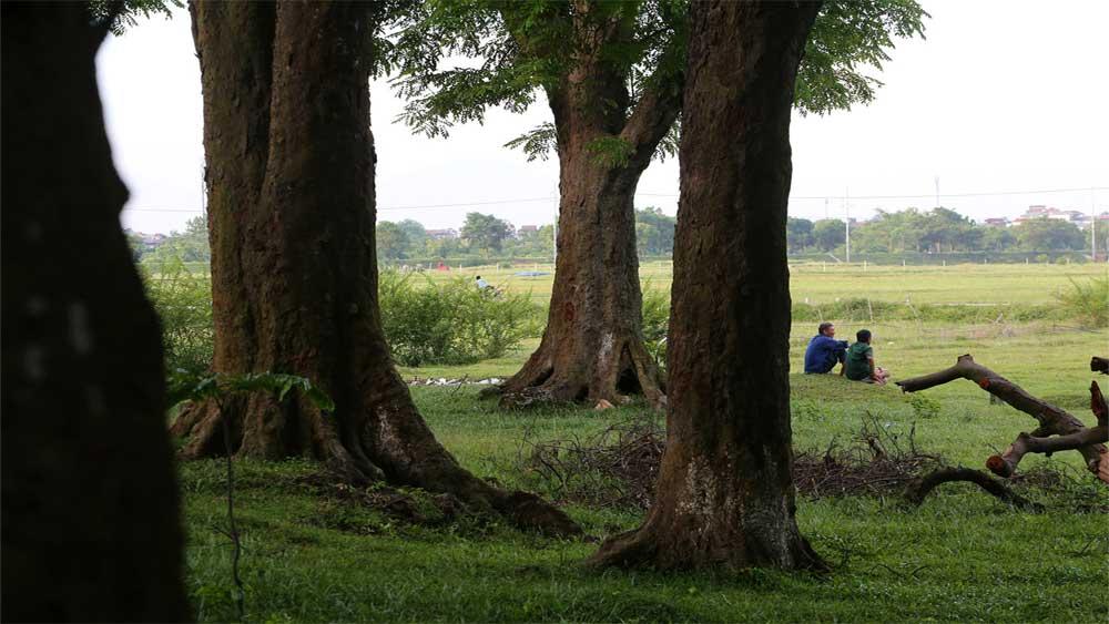 Rừng lim cổ thụ hơn nghìn năm tuổi tại Hà Nội