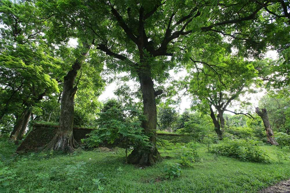 Rừng lim cổ thụ, hơn nghìn năm tuổi, Hà Nội, đồng bằng sông Hồng rộng lớn, gìn giữ rừng lim, ý nghĩa tâm linh, khu rừng  thiêng