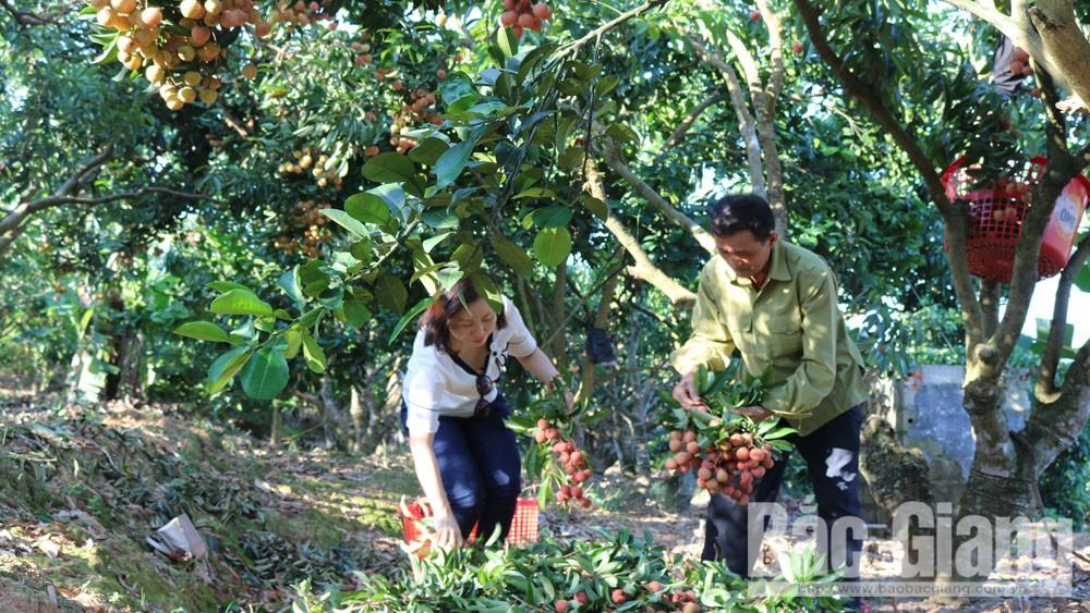 Bắc Giang: Vải thiều đang tiêu thụ thuận lợi, thu hoạch khoảng 70 nghìn tấn