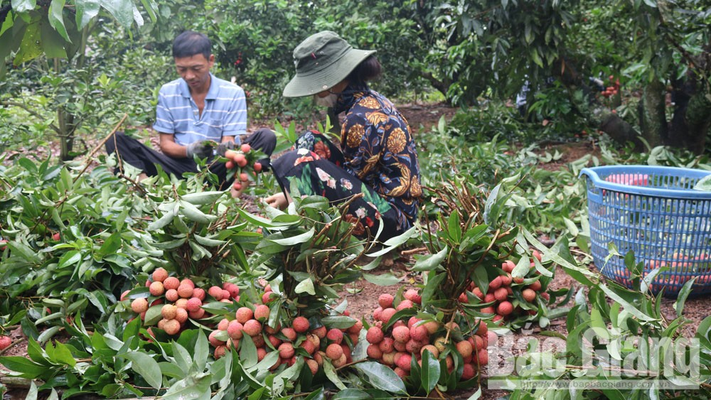 Many businesses continue to export Bac Giang lychee to Japanese market