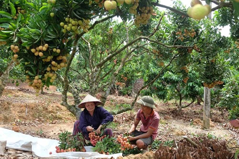 Thieu lychee kingdom, demanding markets, Bac Giang province, specialty fruit, Luc Ngan district, most choosy markets, Vietnamese agricultural products