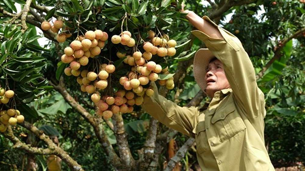 """Thieu lychee kingdom"" looks to conquer demanding markets"