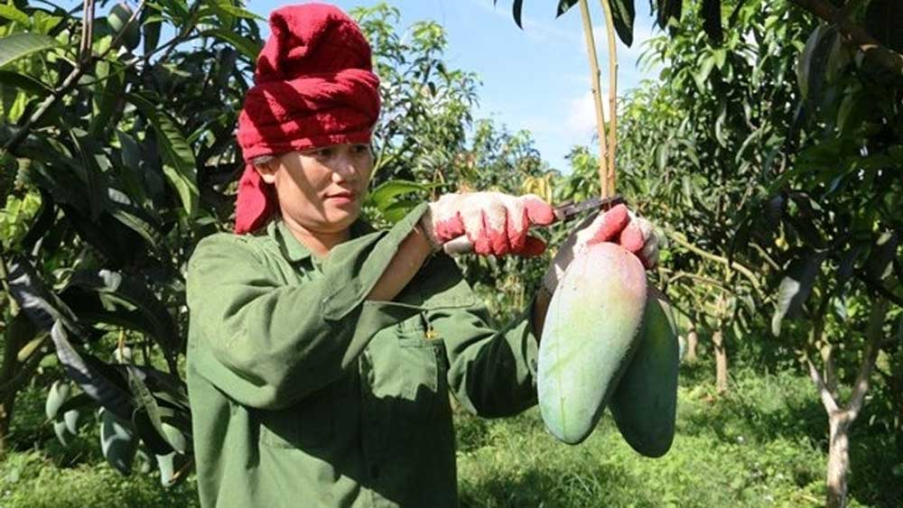 Son La exports first 30 tonnes of mango to the US, Canada and Australia