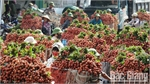 Vibrant lychee season in Bac Giang