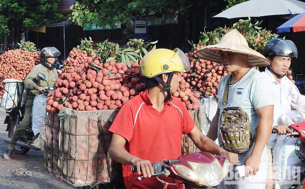 Vibrant lychee season, Bac Giang province, Luc Ngan lychee, export to Japan, high demanding market, VietGAP lychee