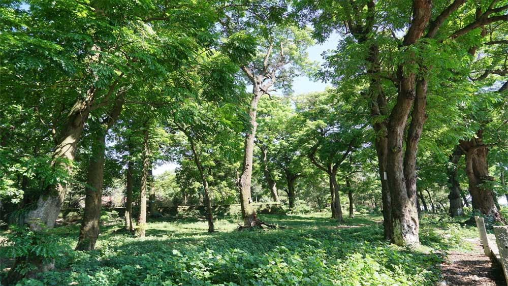 Endangered ancient ironwoods gain heritage status in Hanoi