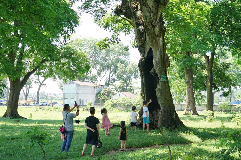Endangered ancient ironwoods,heritage status, Hanoi, Son Tay town, Conservation of Nature and Environment, valuable timber,  Va Temple,  special trees