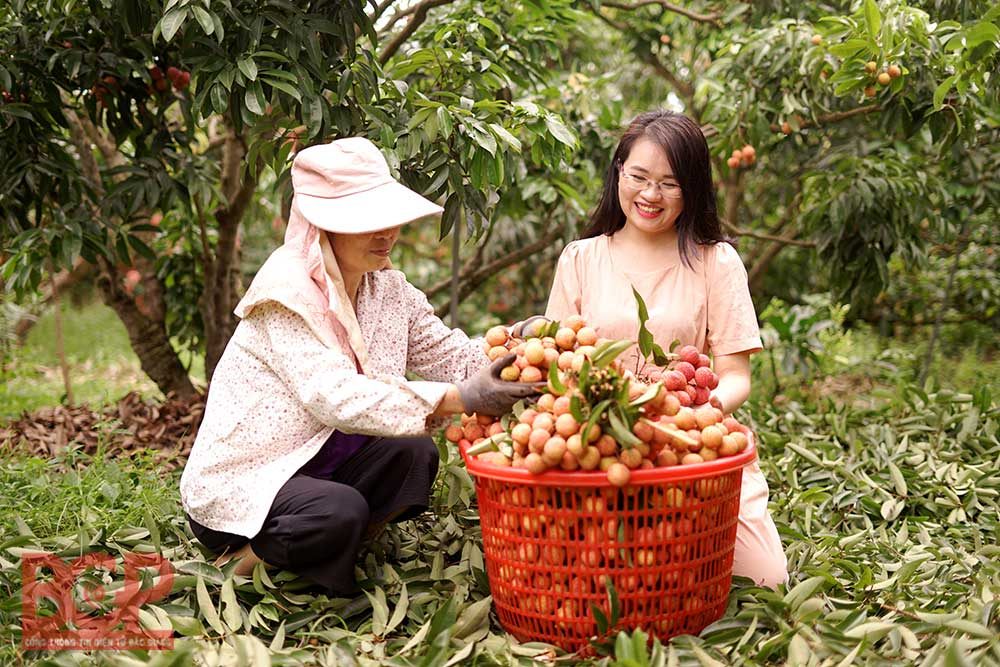 Experiencing ripen lychee season, Luc Ngan lychee, Bac Giang province, orchard  tourism, magnificent landscape picture, unforgettable experiences, lychee harvest season