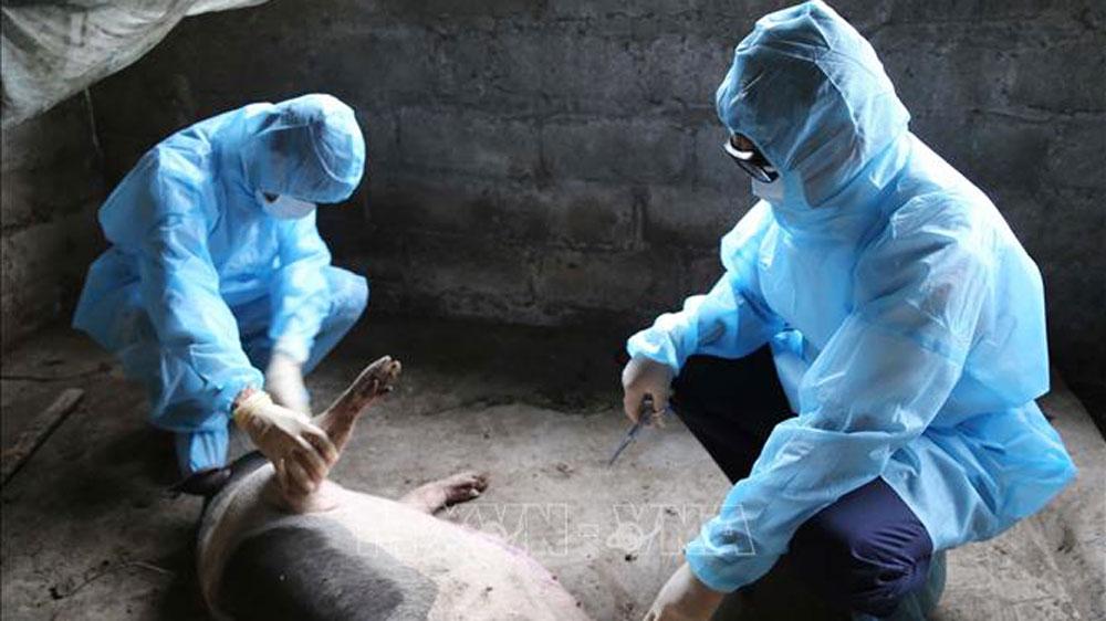 19 tỉnh đang có dịch tả lợn châu Phi