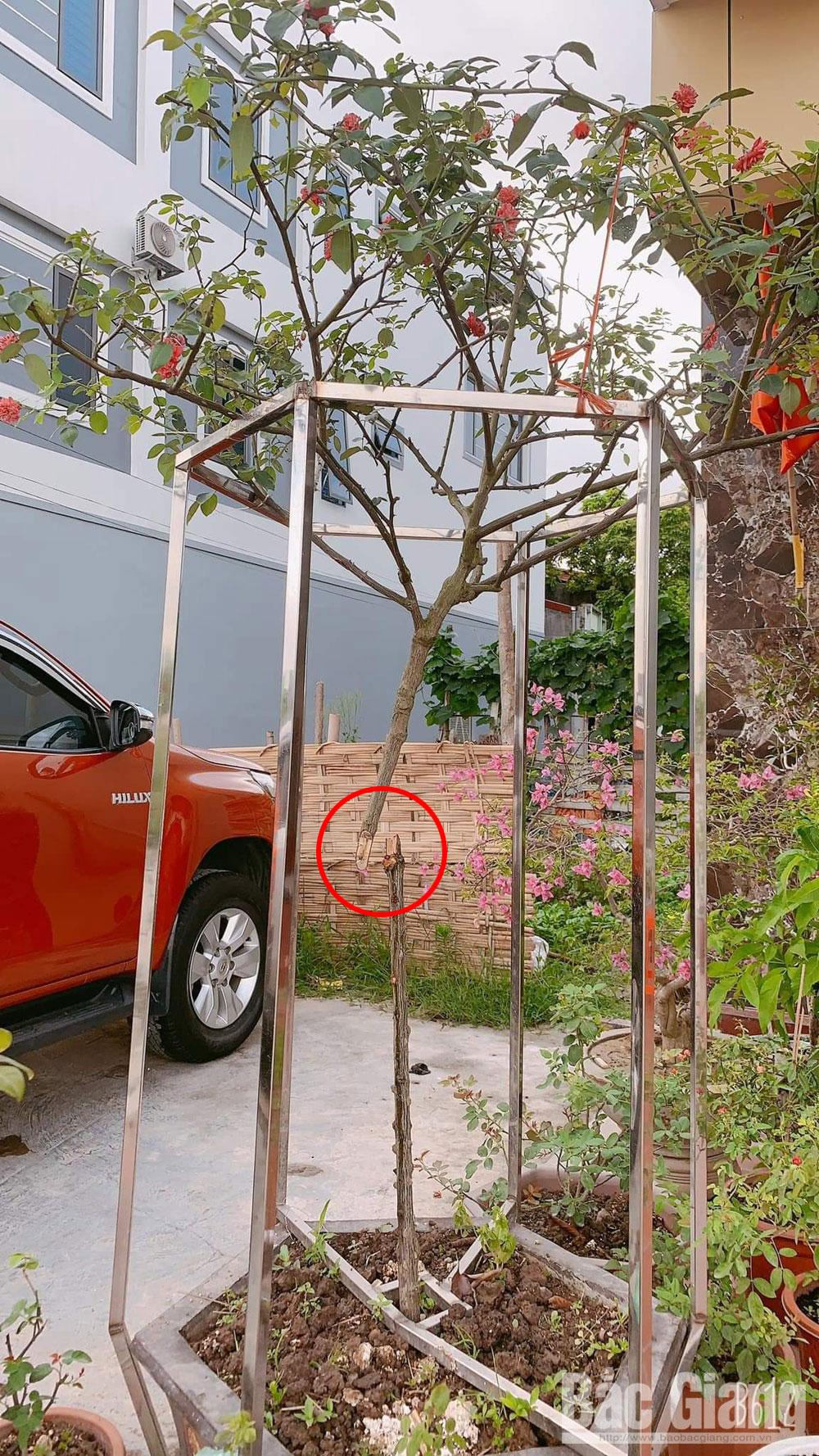 trộm hoa, cây cảnh, TP Bắc Giang, Bắc Giang