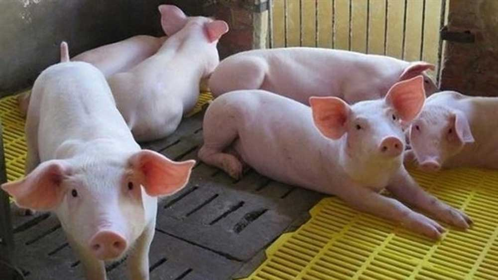 Vietnam imports an additional 2,470 live pigs from Thailand