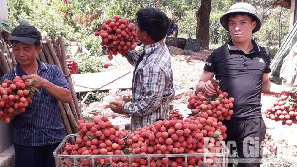 Bac Giang lychee enjoys smooth export to Japan