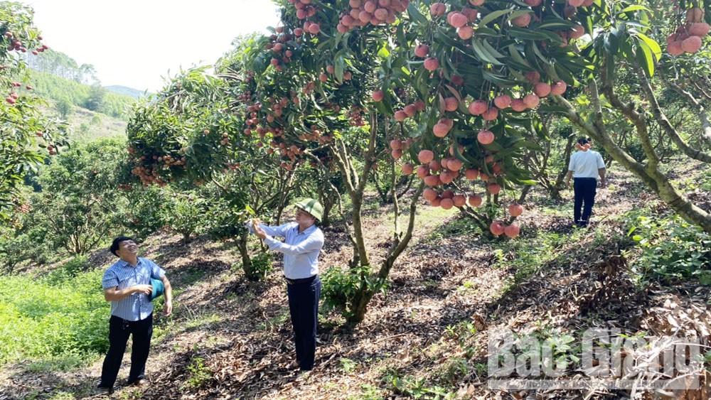Bac Giang lychee, smooth export, export to Japan, Bac Giang province, Luc Ngan lychees, VietGAP procedure, GlobalGAP, Smooth consumption