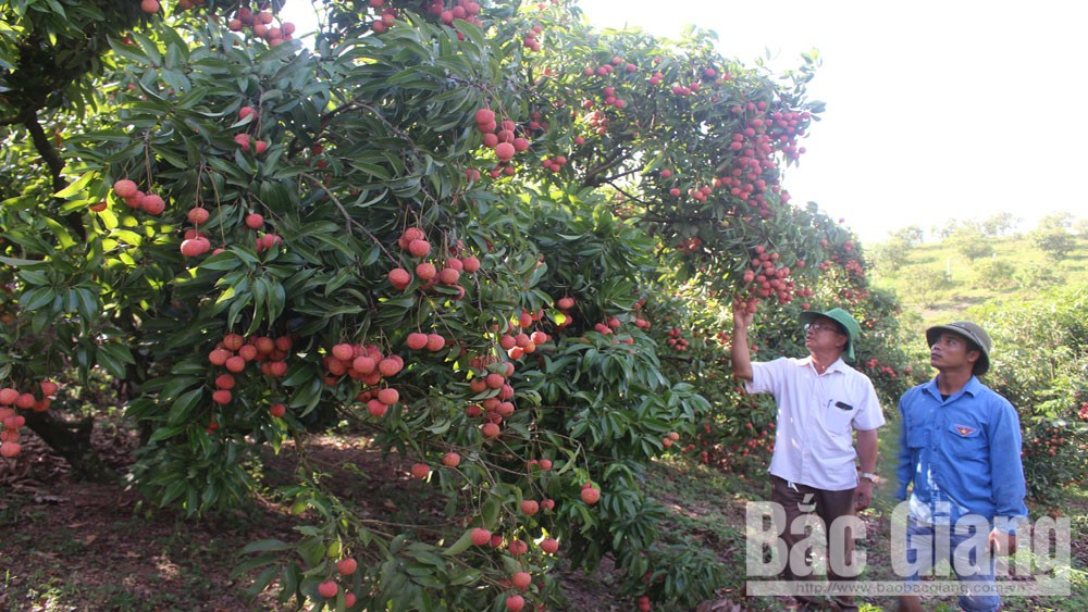 Luc Ngan, value of lychee, grown in highland, Bac Giang province, applying technology, lychee cultivation, high quality and productivity,  lychee harvest season