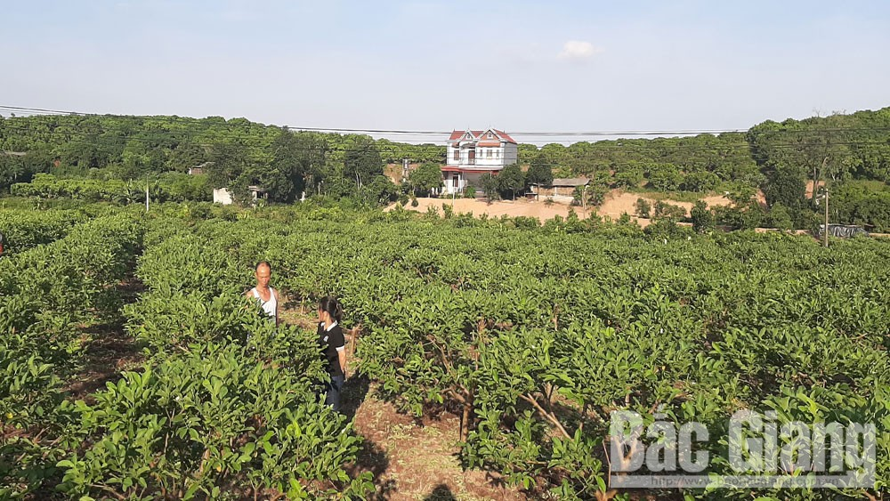 Tan Yen guava, Bac Giang province, delicious fruit, four seasons, Taiwanese guava, fruiting cycle at will, concentrated guava areas, VietGAP standard