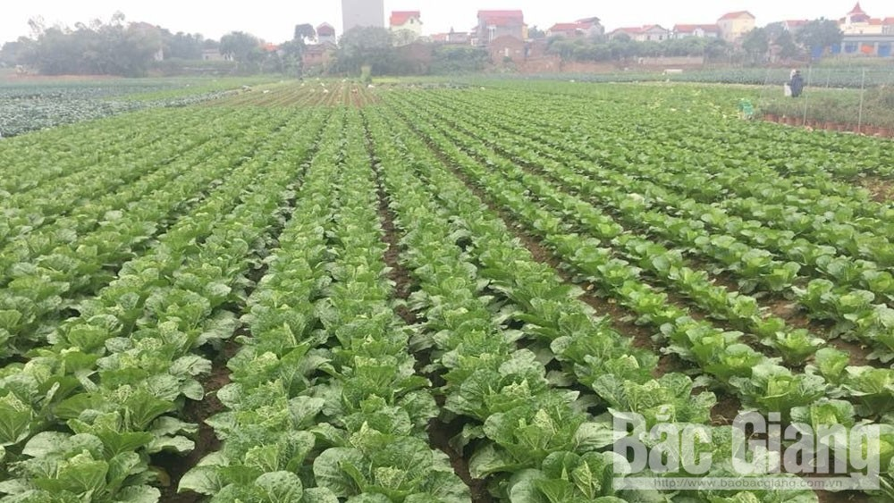 Vifoco, local farm produce, foreign markets, Bac Giang province, Covid-19 pandemic, stable operation, inked contracts, production linkage, concentrated production areas