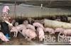 Bắc Giang: Đàn vật nuôi giảm, giá tăng, người nuôi thu lợi cao