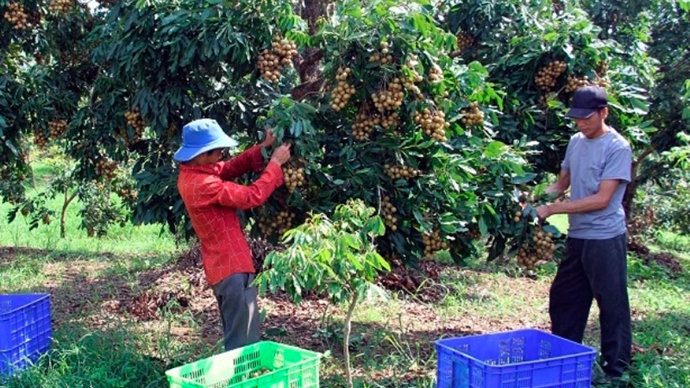 Son La province, consumption of longan, Covid-19 pandemic, consumption and export of mango, longan harvest season, promotional events