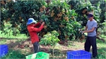 Son La boosts consumption of longan