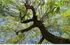 Tiềm năng mới chống ung thư từ cây liễu