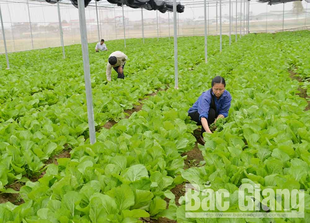 Bac Giang city, Bac Giang province, hi-tech model, vegetable and flower cultivation, synchronous infrastructure, VietGAP, GlobalGAP