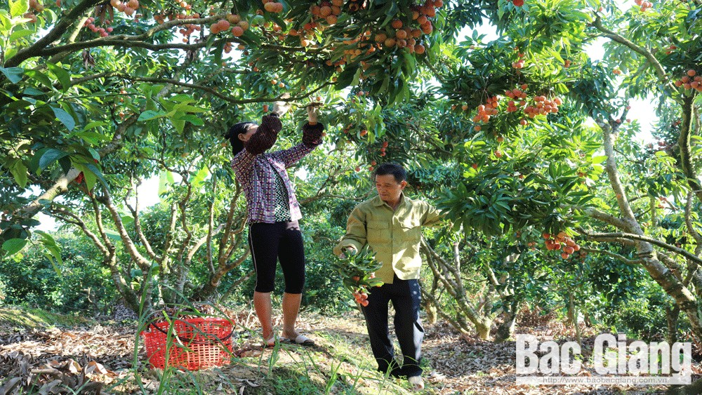 2020 lychee season, new, and active method, consumption promotion, lychee consumption, Bac Giang province, complicated development, Covid-19 pandemic, big success