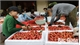 2020 lychee season witnesses new, active method of consumption promotion
