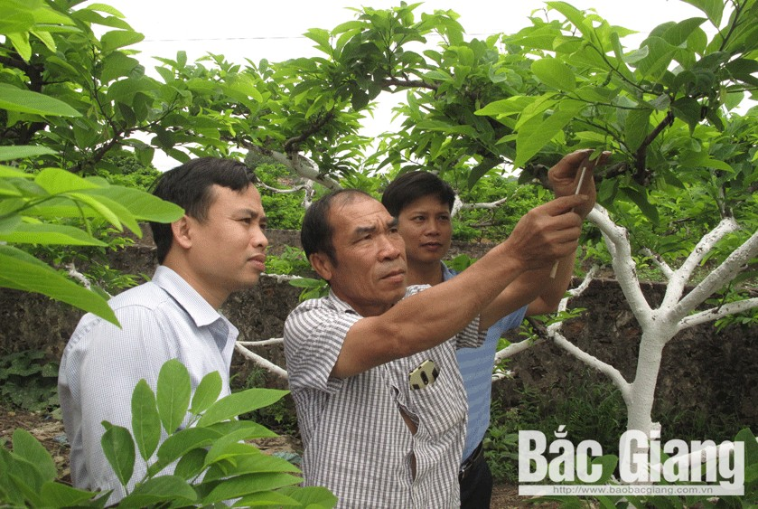 Creating trademark, Nghia Phuong custard apple, Bac Giang province, popular name, signature sweet taste, creative cultivation method, specific stamp, product consumption