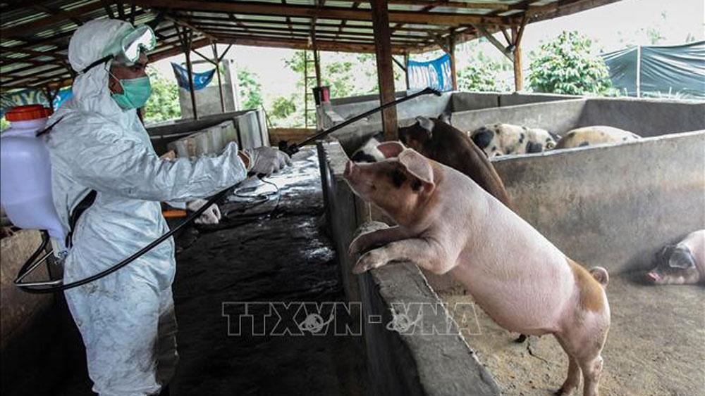Phun thuốc khử trùng tại một trang trại nuôi lợn ở Kabanjahe, Karo, Bắc Sumatra, Indonesia, ngày 12/11/2019.