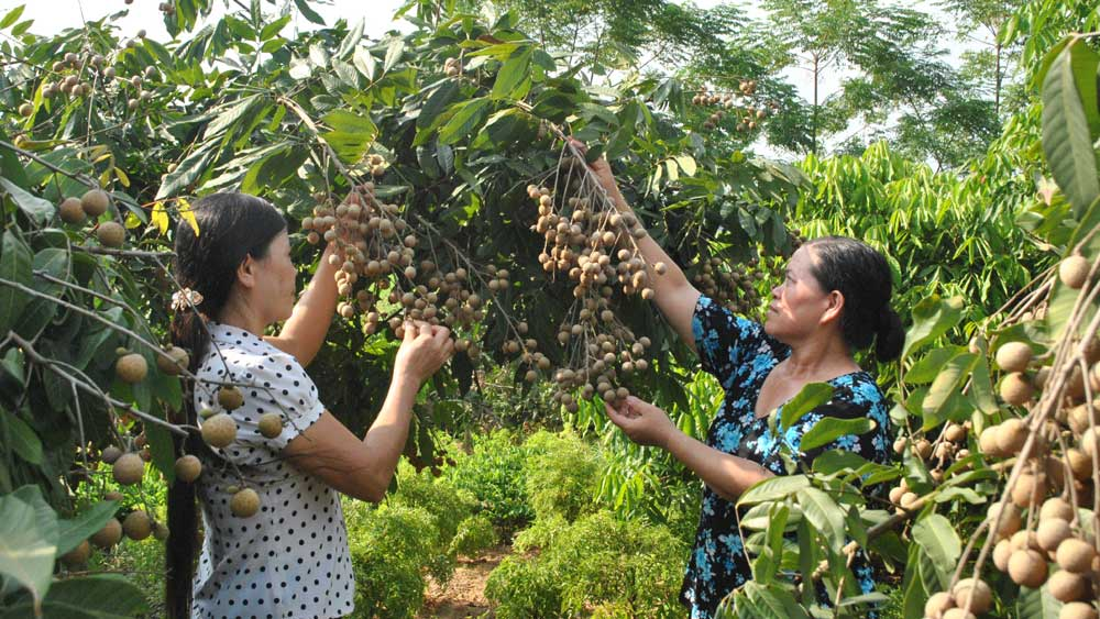 Longan productivity, Bac Giang province, Plant Production and Protection Division, favourable weather condition, harvest season, average selling price